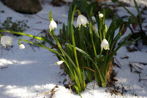 Spring snowflake.