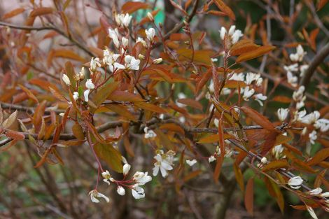 Amelanchier canadensis.