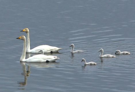The Loch of Spiggie whooper swans. Pic. Jim Wood