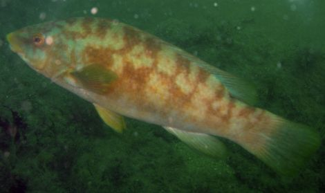 A ballan wrasse, almost 10,000 of which have been culled after a disease outbreak