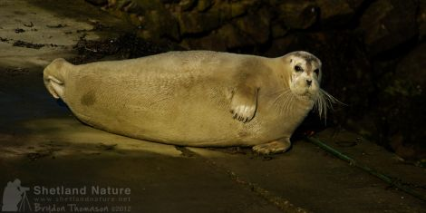 The third sighting of a bearded seal within four years - Photos: Brydon Thomason
