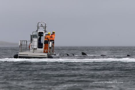 The rescue craft and the whales heading back out of the voe. Photo Ivan Hawick