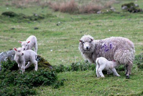 A ewe with its lambs in Vidlin on Tuesday. Photo: Shetnews
