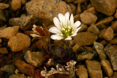 The most obvious choice? Edmonston' chickweed.