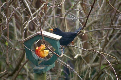 A blackbird dining off one of Lea Gardens' bird dining areas - all Photos: Lea Gardens