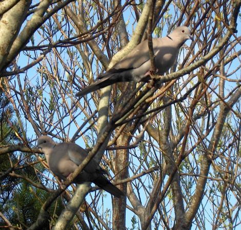 The collared doves have returned.