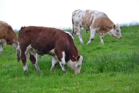 Some livestock owners have already shipped cattle south this year. Photo: Shetnews