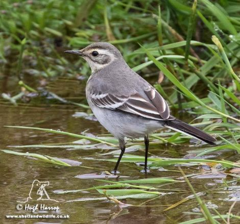 The citrine wagtail at Quendale. Photo Hugh Harrop