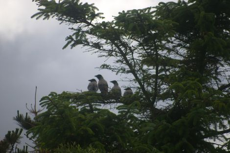 A brood of four hooded crows - Photo: Lea Gardens