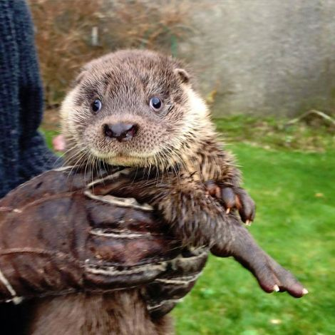 Maxi the otter cub, who is being cared for at Hillswick Wildlife Sanctuary after losing his mother, probably after she was hit by a car. Photo John Moncrieff