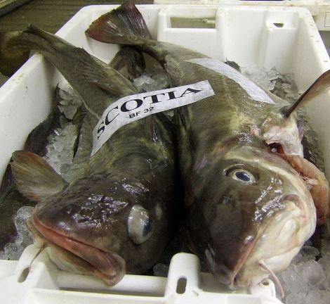 Quota for NorthSea cod is going up by 15per cent in 2016 while the introduction of the discard ban for the species has been delayed by 12 months.