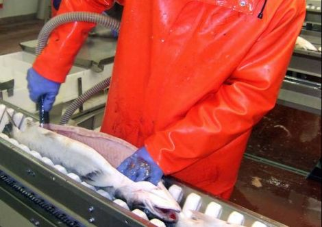 Grieg Seafood produced 16,370 tonnes of fish in 2015