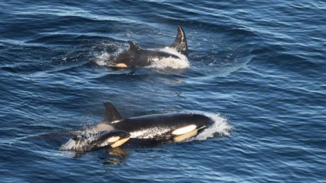 Gina Rathbone's photo of two orca calves seen swimming in one pod near Sumburgh on Tuesday this week.