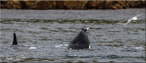 One of the killer whales grabbed a seabird - possibly a razorbill - for a snack. Photo: Ivan Reid