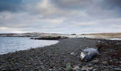The female Orca beached herself on the uninhabited island of Linga, last week - Photo: Cy Sullivan