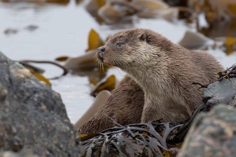 Otter-spotting topped Travel magazine's list of the best wildlife experiences in the world. Photo: Rory Tallack.