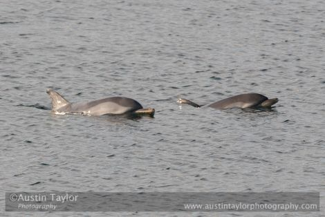 These two striped dolphins were spotted in Scalloway harbour in October last year. Photo: Austin Taylor