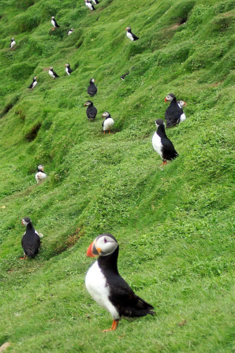 Puffins at Hermaness, Unst.