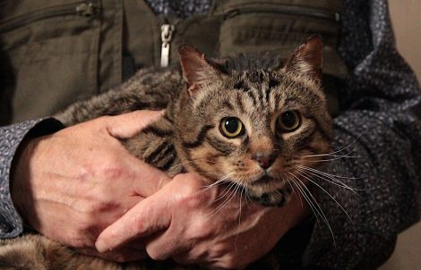 Mac is a tabby who is believed to have been hit by a car. He is currently fostered by Mike Cunynghame. Photo: Shetland News
